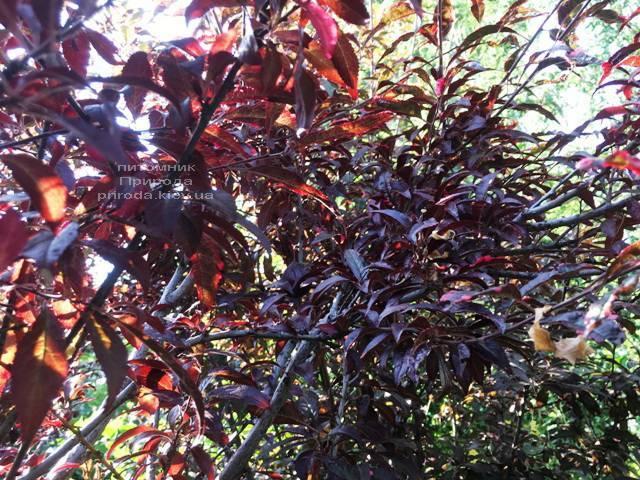 Слива растопыренная Хессея на штамбе (Prunus cerasifera Hessei) ФОТО Питомник растений Природа (Priroda) (32)