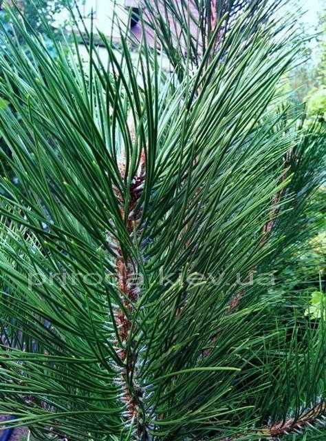 Сосна крымская (Pinus pallasiana) ФОТО Питомник растений Природа Priroda (122)