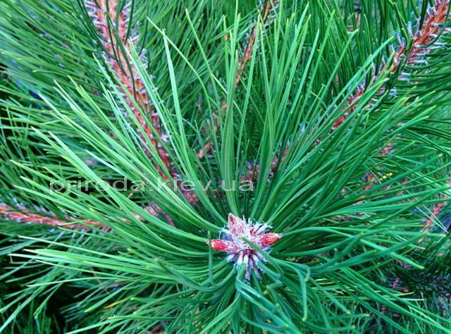 Сосна крымская (Pinus pallasiana) ФОТО Питомник растений Природа Priroda
