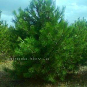 Сосна крымская (Pinus pallasiana) ФОТО Питомник растений Природа Priroda (124)