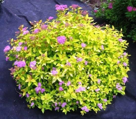 Спирея японская Голден Принцесс (Spiraea japonica Golden Princess) ФОТО Питомник растений Природа Priroda (54)