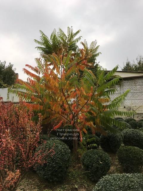 Сумах оленерогий (Уксусное дерево) (Rhus typhina) ФОТО Питомник растений Природа Priroda (9)