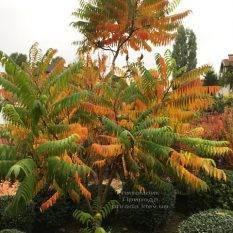 Сумах оленерогий (Уксусное дерево) (Rhus typhina) ФОТО Питомник растений Природа Priroda (11)