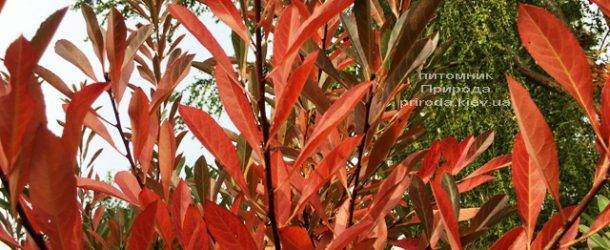 Вишня песчаная Бессеи (Microcerasus pumila var. Besseyi) на штамбе ФОТО Питомник растений Природа Priroda (30)