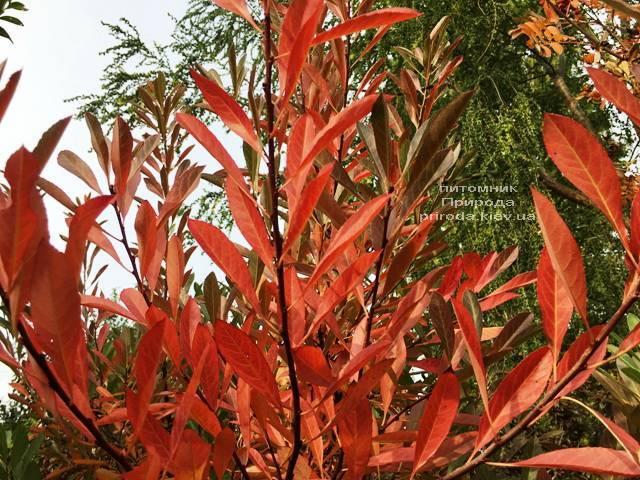 Вишня песчаная Бессеи (Microcerasus pumila var. Besseyi) на штамбе ФОТО Питомник растений Природа Priroda