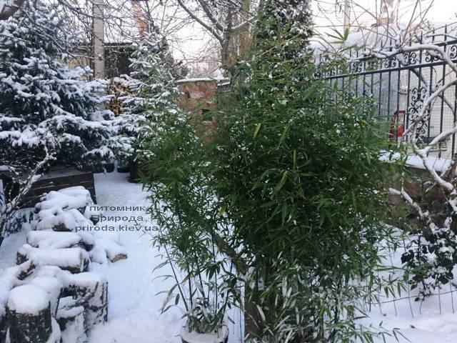 Бамбук (Листоколосник золотистожелобчатый) (Phyllostachys aureosulcata) ФОТО Питомник растений Природа (Priroda)