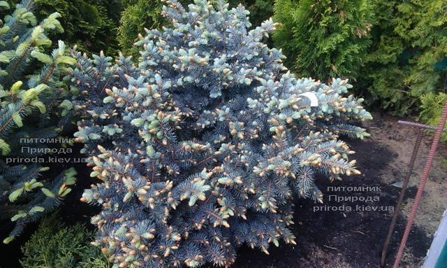 Ель голубая Глаука Глобоза (Picea pungens Glauca Globosa) ФОТО Питомник растений Природа (Priroda)