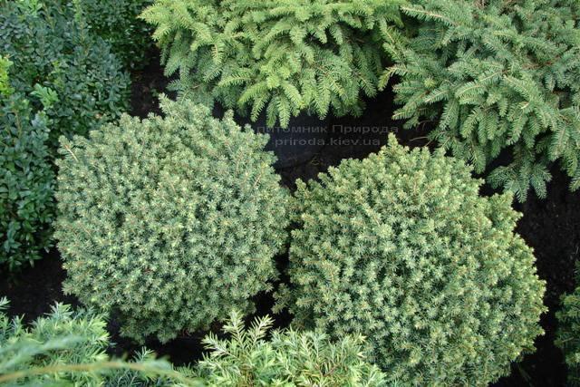 Ель канадская Эхиниформис (Picea glauca Echiniformis) ФОТО Питомник растений Природа (Priroda)