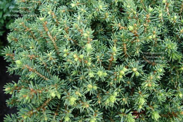 Ель канадская Эхиниформис (Picea glauca Echiniformis) ФОТО Питомник растений Природа (Priroda) (311)