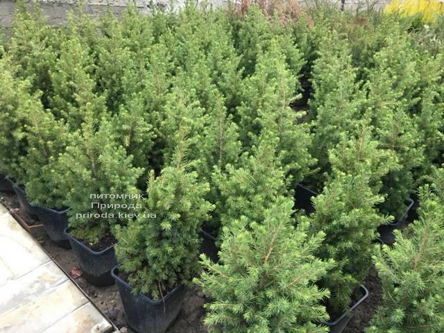 Ель канадская Коника (Picea glauca Conica) ФОТО Питомник растений Природа (Priroda) (305)