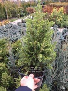 Ель канадская Коника (Picea glauca Conica) ФОТО Питомник растений Природа (Priroda) (306)