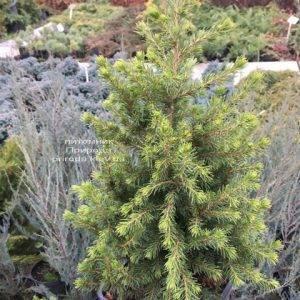 Ель канадская Коника (Picea glauca Conica) ФОТО Питомник растений Природа (Priroda) (307)