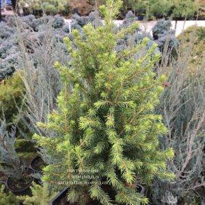 Ель канадская Коника (Picea glauca Conica) ФОТО Питомник растений Природа (Priroda) (308)