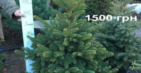 Ель Глаука (Picea pungens Glauca) ФОТО Питомник растений Природа Priroda (318)