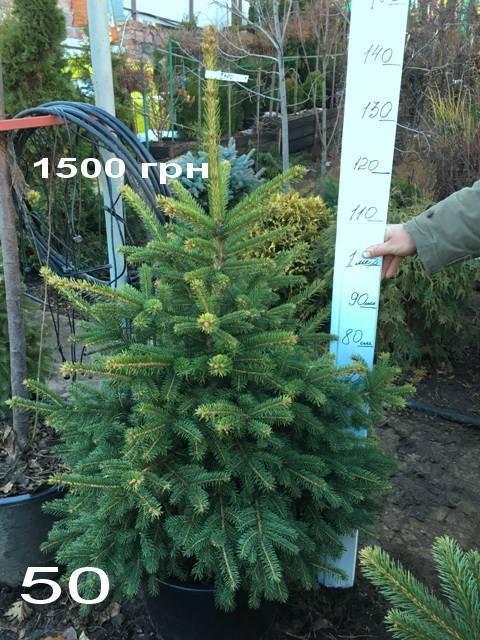Ель Глаука (Picea pungens Glauca) ФОТО Питомник растений Природа Priroda