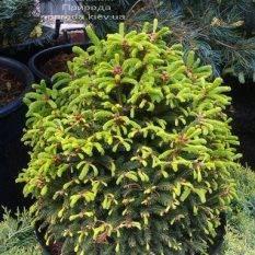 Ель обыкновенная Барри (Picea abies Barryi) ФОТО Питомник растений Природа (Priroda)