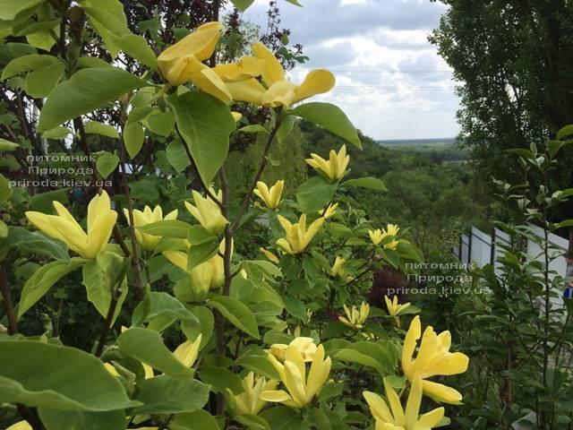 Магнолия Дафни (Magnolia Daphne) ФОТО Питомник растений Природа (Priroda)