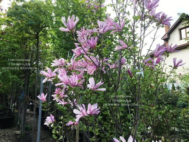 Магнолия гибридная Джорж Генри Керн (Magnolia George Henry Kern) ФОТО Питомник растений Природа (Priroda) (166)