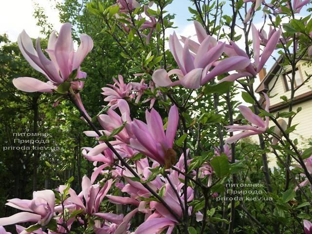 Магнолия гибридная Джорж Генри Керн (Magnolia George Henry Kern) ФОТО Питомник растений Природа (Priroda) (167)