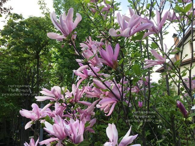 Магнолия гибридная Джорж Генри Керн (Magnolia George Henry Kern) ФОТО Питомник растений Природа (Priroda) (168)