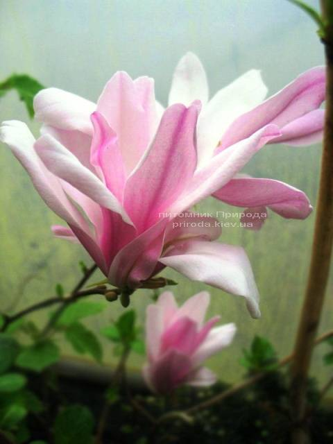 Магнолия гибридная Джорж Генри Керн (Magnolia George Henry Kern) ФОТО Питомник растений Природа (Priroda)