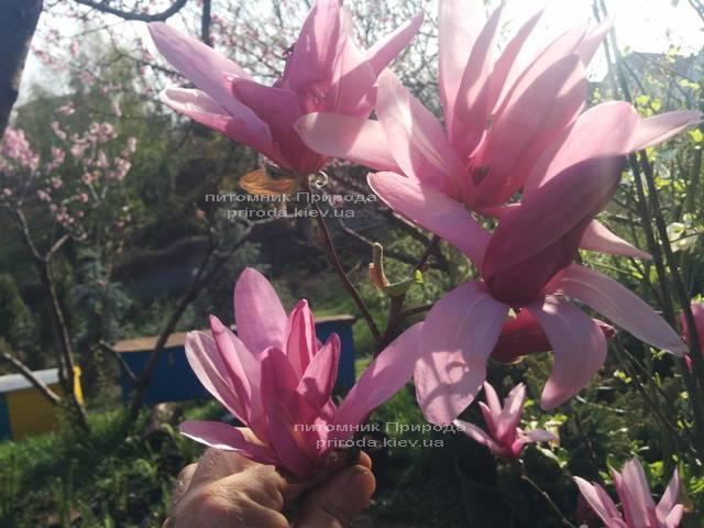 Магнолия гибридная Джорж Генри Керн (Magnolia George Henry Kern) ФОТО Питомник растений Природа (Priroda) (170)
