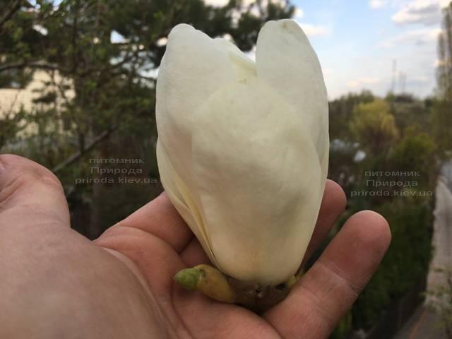 Магнолия голая Юлан (Yulan) ФОТО Питомник растений Природа (Priroda)