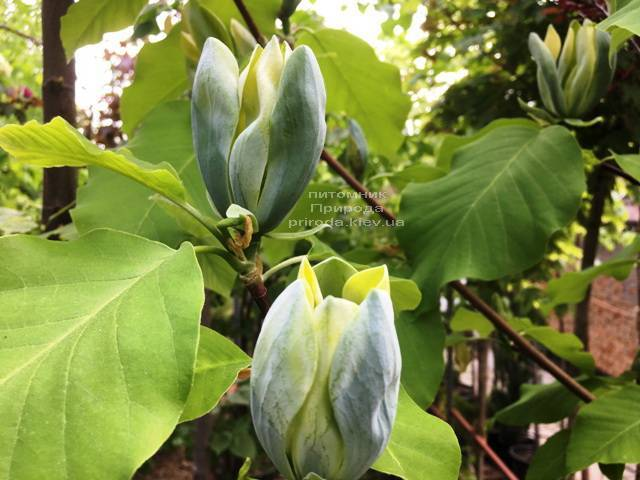 Магнолия Голубой Опал (Maqnolia acuminata Blue Opal) ФОТО Питомник растений Природа (Priroda)