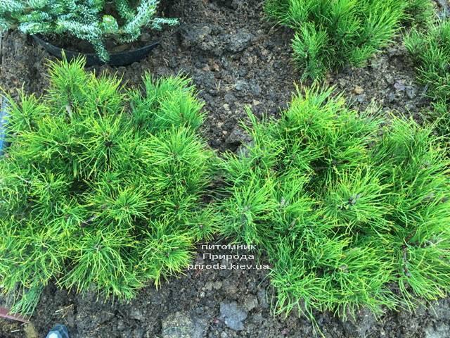 Сосна горная (Pinus mugo) ФОТО Питомник растений Природа (Priroda)