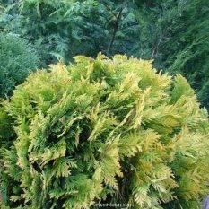 Туя западная Санкист Шар (Thuja occidentalis Sunkist Boll) ФОТО Питомник растений Природа Priroda
