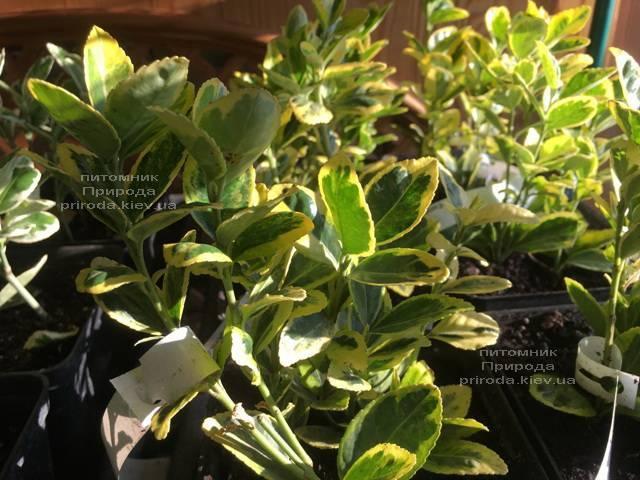 Бересклет японский (Euonymus japonica) ФОТО Питомник растений Природа (Priroda) (35)