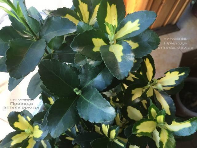 Бересклет японский (Euonymus japonica) ФОТО Питомник растений Природа (Priroda) (46)