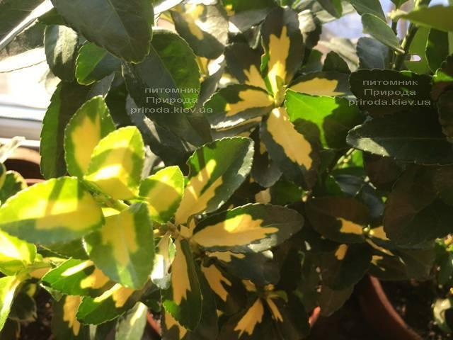 Бересклет японский (Euonymus japonica) ФОТО Питомник растений Природа (Priroda) (51)