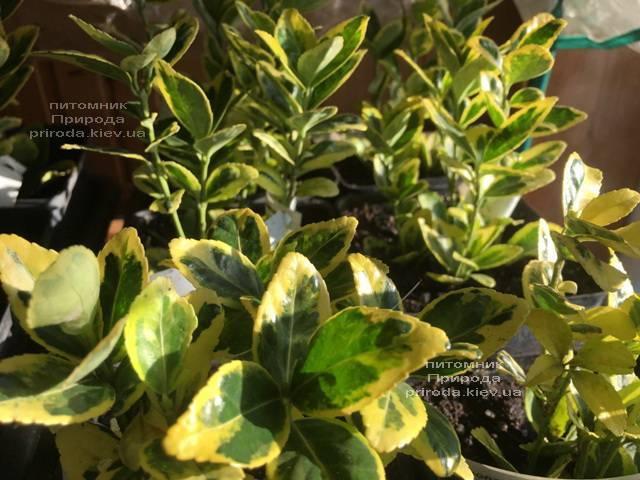 Бересклет японский (Euonymus japonica) ФОТО Питомник растений Природа (Priroda) (38)