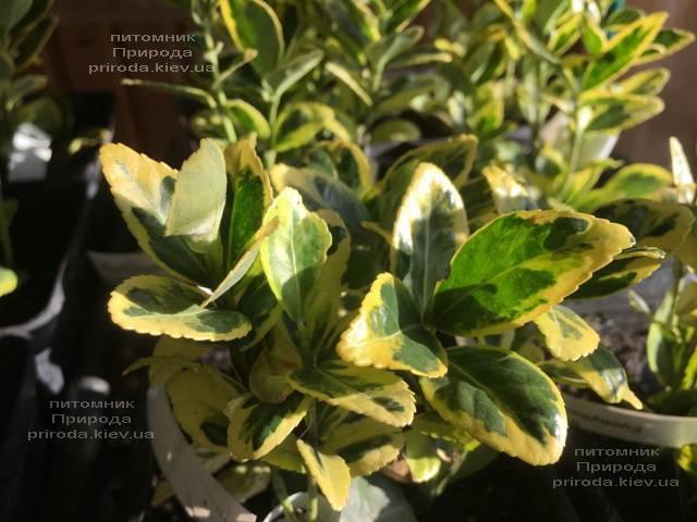 Бересклет японский (Euonymus japonica) ФОТО Питомник растений Природа (Priroda) (40)