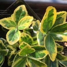 Бересклет японский (Euonymus japonica) ФОТО Питомник растений Природа (Priroda)