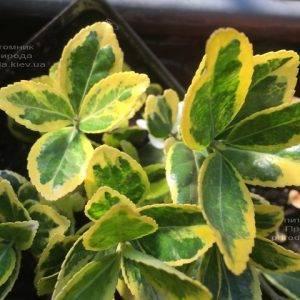 Бересклет японский (Euonymus japonica) ФОТО Питомник растений Природа (Priroda) (41)