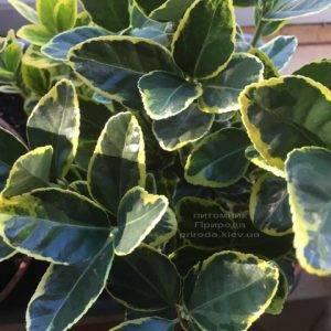 Бересклет японский (Euonymus japonica) ФОТО Питомник растений Природа (Priroda) (43)