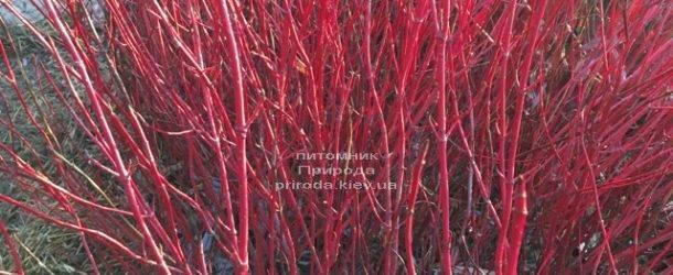 Дерен белый зимой. ФОТО Питомника растений Природа (Priroda) (28)