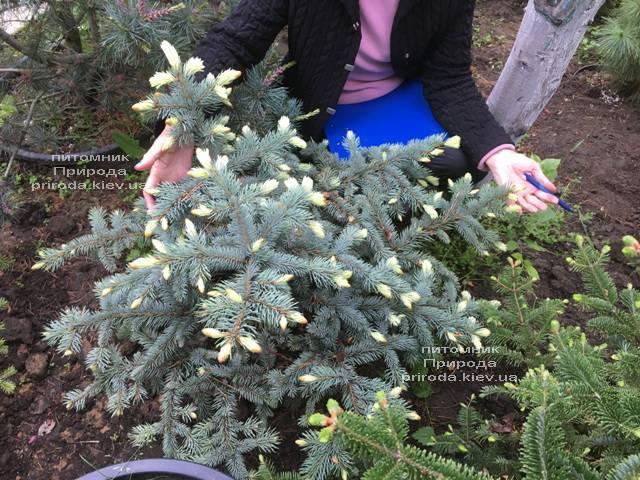 Ель голубая Биалобок (Picea pungens Bialobok) ФОТО Питомник растений Природа (Priroda)