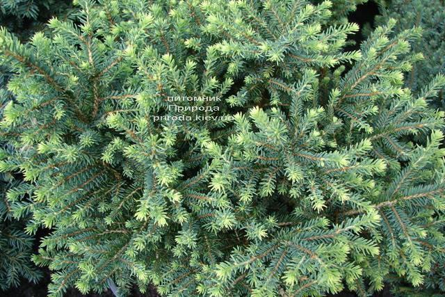Ель сербская Карел (Picea omorika Karel) ФОТО Питомник растений Природа (Priroda) (342)