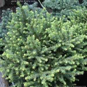 Ель сербская Карел (Picea omorika Karel) ФОТО Питомник растений Природа (Priroda) (345)