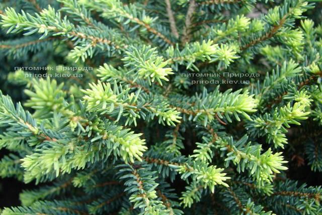 Ель сербская Карел (Picea omorika Karel) ФОТО Питомник растений Природа (Priroda)