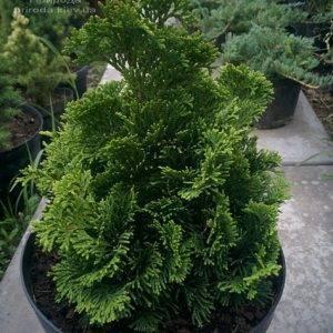 Кипарисовик тупой Нана Грасилис (Chamaecyparis obtusa Nana Gracilis) ФОТО Питомник растений Природа (Priroda) (78)