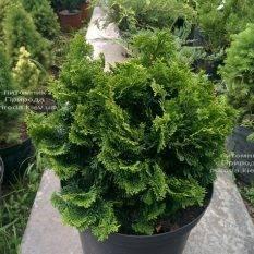 Кипарисовик тупой Нана Грасилис (Chamaecyparis obtusa Nana Gracilis) ФОТО Питомник растений Природа (Priroda) (79)