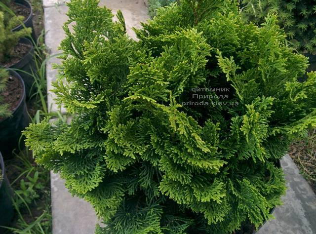 Кипарисовик тупой Нана Грасилис (Chamaecyparis obtusa Nana Gracilis) ФОТО Питомник растений Природа (Priroda)