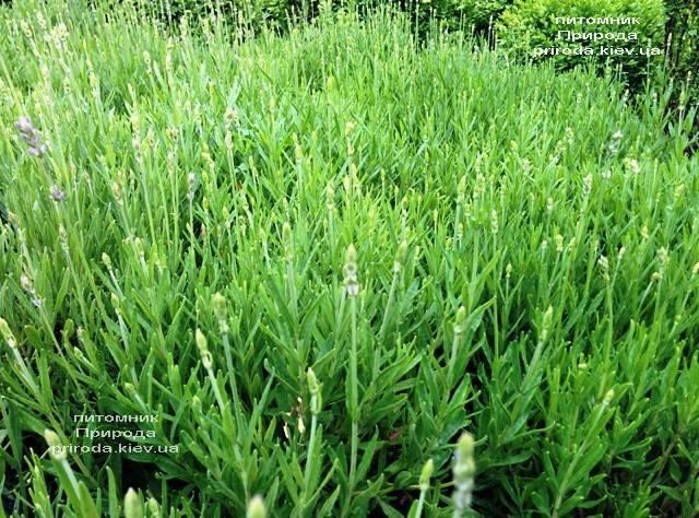 Лаванда (Lavandula) ФОТО Питомник растений Природа (Priroda)