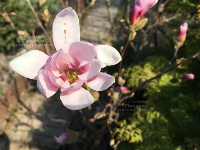 Магнолия Лебнера Леонард Мессел (Magnolia Loebneri Leonard Messel) ФОТО Питомник растений Природа (Priroda)