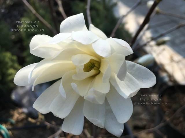 Магнолия звёздчатая Роял Стар (Magnolia stellata Royal Star) ФОТО Питомник растений Природа (Priroda)
