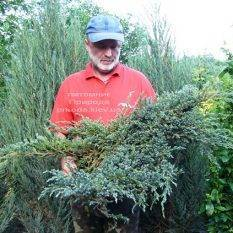 Можжевельник чешуйчатый Блю Карпет (Juniperus squamata Blue Carpet) ФОТО Питомник растений Природа (Priroda) (273)